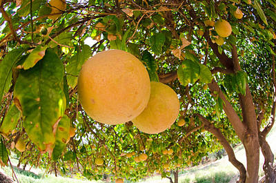 Photograph - California Orange Grove by Margaret Pitcher
