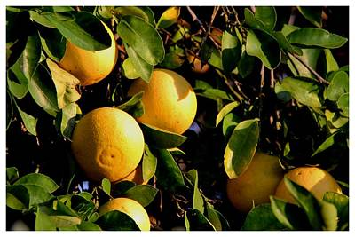 Photograph - California Oranges by Frank Wickham