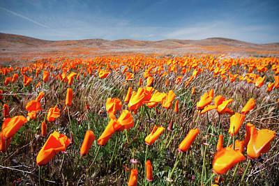 California Poppies Art Print by Ben Neumann