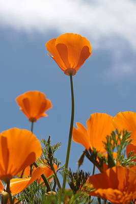 Photograph - California Poppies by Denice Breaux