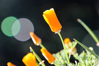 Photograph - California Poppies In The Sun by Paul Topp