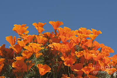 Photograph - California Poppies by Sandra Bronstein
