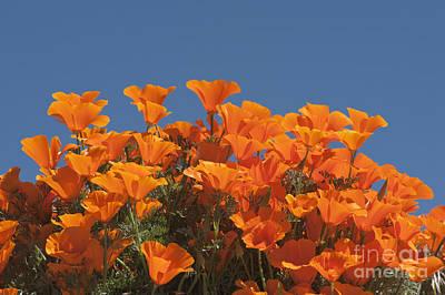 Photograph - California Poppies by Sandra Bronstein