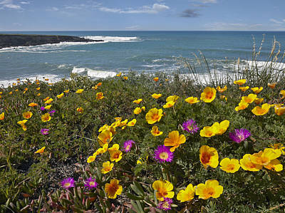 Luis Photograph - California Poppy And Iceplant by Tim Fitzharris