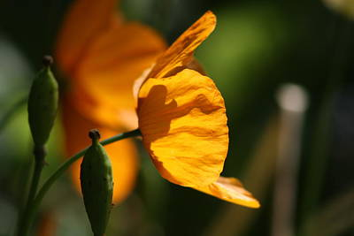 Photograph - California Poppy by Cathie Douglas