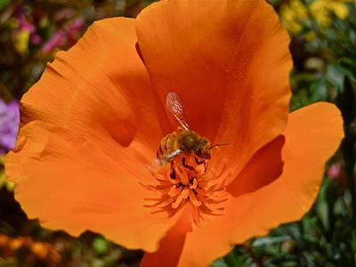 Photograph - California Poppy by Diana Hatcher