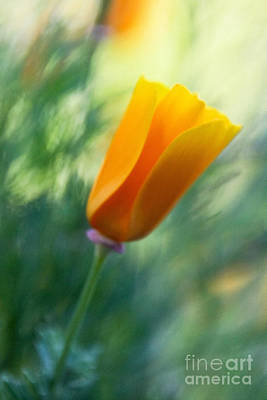 Photograph - California Poppy Flower Soft Focus by Paul Topp