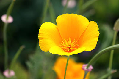 Photograph - California Poppy by Karon Melillo DeVega