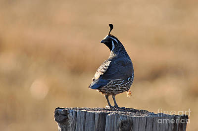 Photograph - California Quail by Laura Mountainspring