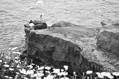 California Sea Lions Black And White La Jolla Shores San Diego  Art Print by Sherry  Curry