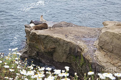 Photograph - California Sea Lions Zalophus Californianus At La Jolla Shores by Sherry  Curry