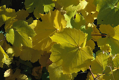 Grape Leaves Photograph - California Wild Grape Leaves Vitis by Marc Moritsch