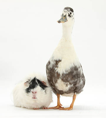 House Pet Photograph - Call Duck And Guinea Pig by Mark Taylor