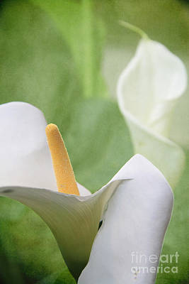 Photograph - Calla Lilies by Alyce Taylor