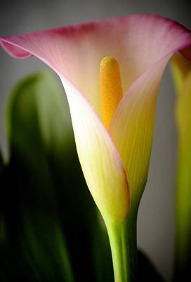 Photograph - Calla Lily 1 by Laura DAddona