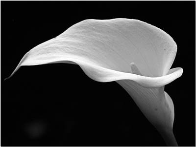 Photograph - Calla Lily by Chris Anderson