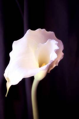 Photograph - Calla Lily by Lynnette Johns