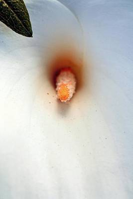 Photograph - Calla Lily Macro by Chris Anderson
