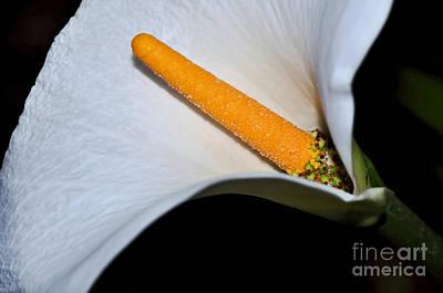 Genus Photograph - Calla Lily - Stamen by Kaye Menner
