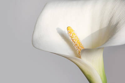 Photograph - Calla by Masha Batkova
