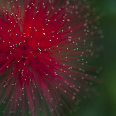 Calliandra II Art Print