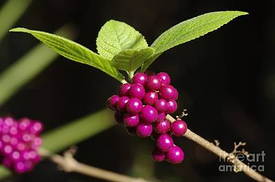 Photograph - Callicarpa Americana by Don Youngclaus