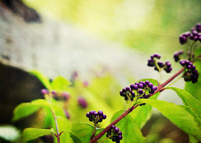 Photograph - Callicarpa Japonica Japanese Beautyberry by Rebecca Sherman