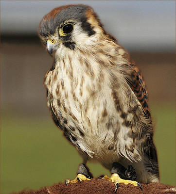 Photograph - Callie American Kestrel by Barbara Middleton