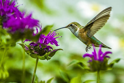 Photograph - Calliope Hummingbird At Bee Balm by Albert Seger