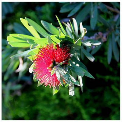 Photograph - Callistemon Phoeniceus by Frank Wickham