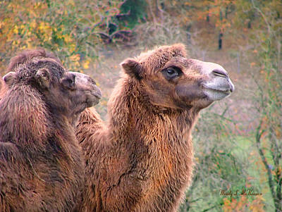 Calm Camels Art Print by Wendy McKennon