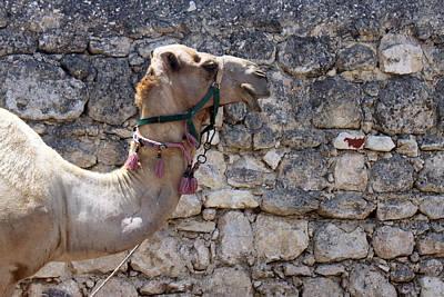 Camel At Sebastia Original by Munir Alawi