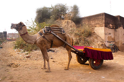 Camel Yoked To A Decorated Cart Meant For Carrying Passengers In India Art Print by Ashish Agarwal