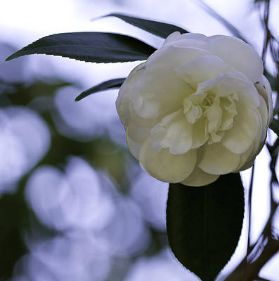 Photograph - Camellia Eight by Ken Frischkorn