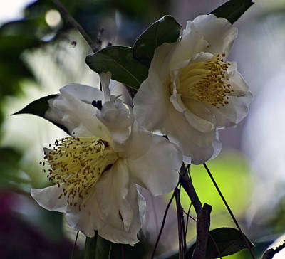 Photograph - Camellia Eighteen by Ken Frischkorn