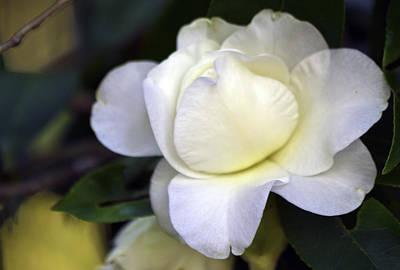 Photograph - Camellia Eleven by Ken Frischkorn