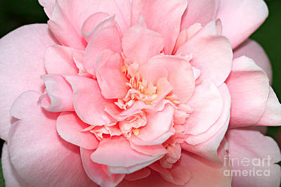 Camellia Art Print by Louise Heusinkveld