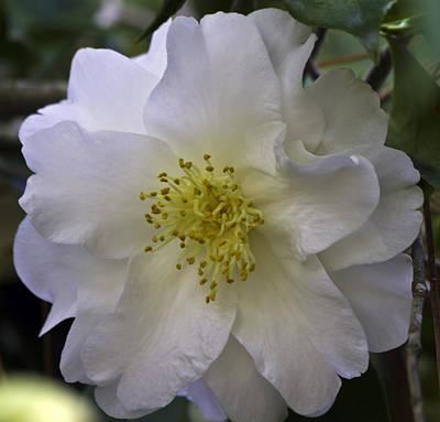 Photograph - Camellia Nine by Ken Frischkorn