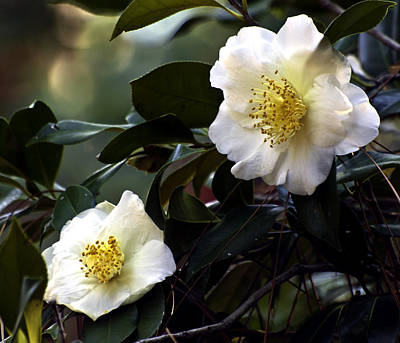Photograph - Camellia Nineteen by Ken Frischkorn