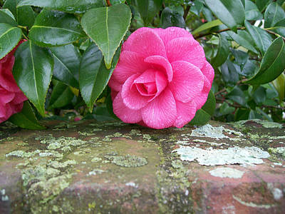 Camellia On Wall Art Print by Larry Bishop