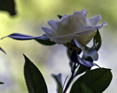 Photograph - Camellia One by Ken Frischkorn