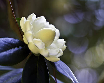 Photograph - Camellia Seven by Ken Frischkorn