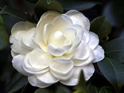 Photograph - Camellia Seventeen by Ken Frischkorn