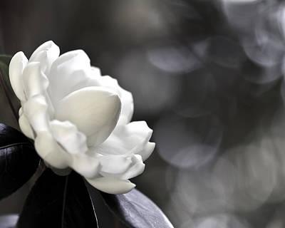 Photograph - Camellia Six by Ken Frischkorn
