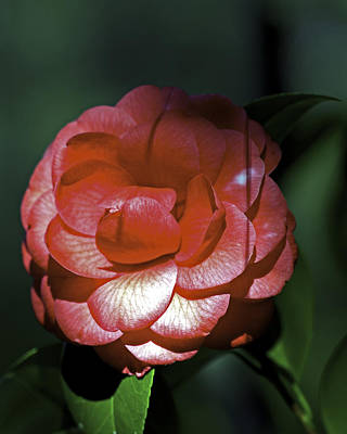 Photograph - Camellia Three by Ken Frischkorn