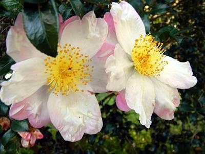 Camellia Times Two Original