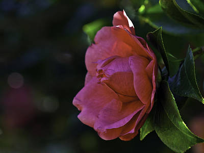 Photograph - Camellia Twenty-five  by Ken Frischkorn