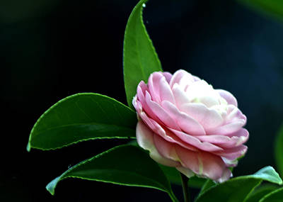 Photograph - Camellia Twenty-four  by Ken Frischkorn