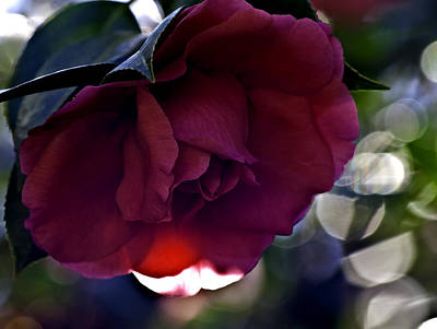 Photograph - Camellia Twenty-six  by Ken Frischkorn