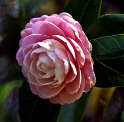 Photograph - Camellia Twenty-three by Ken Frischkorn